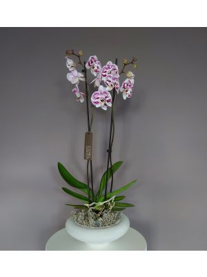 Phalaenopsis purple spotted in grey pot